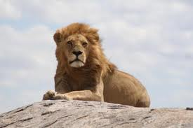 karoo leeu