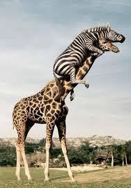 zebra en giraffe