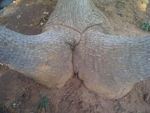 Treebeard se Goose
