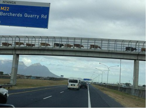 cattle oor highway
