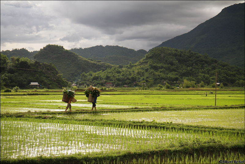 Workers Carry Load Rice Paddies Vietnam Blog