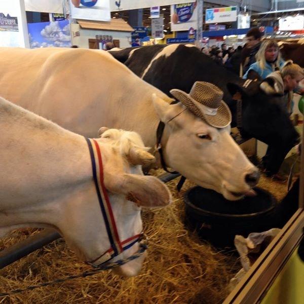 franse koeie