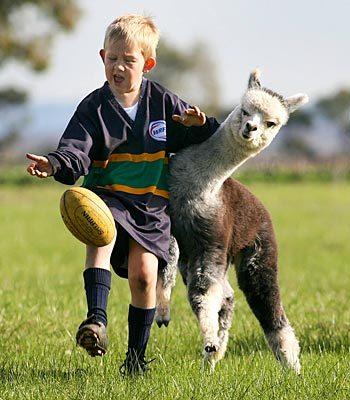 llama rugby